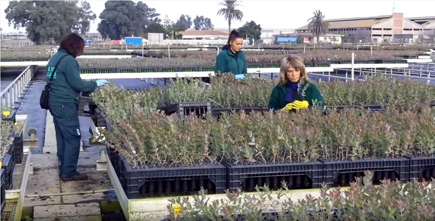 Cortometraje sobre la selección de eucaliptos en un vivero de Ence en Huelva